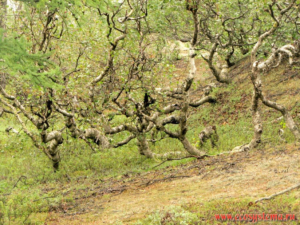 Криволесье из березы извилистой betula